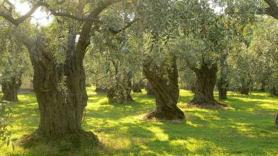 Old olive trees in Tuscany