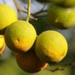 fresh lemons hanging on tree in amalfi