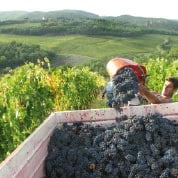 wine worker on Italian vineyards