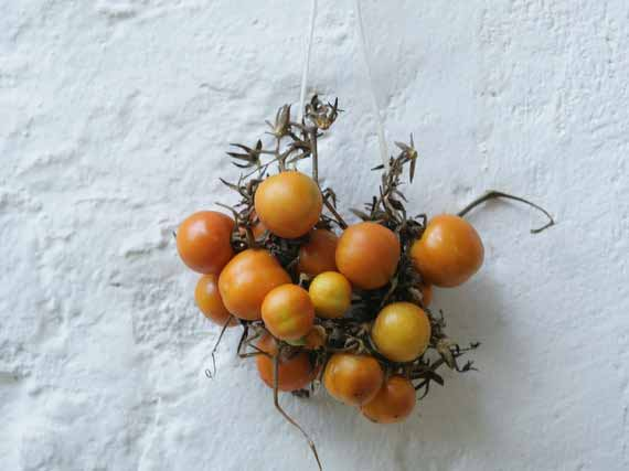 Fresh tomatoes attached to white wall as decorations