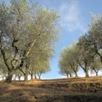 Olive oil trees as the perfect painting scenery