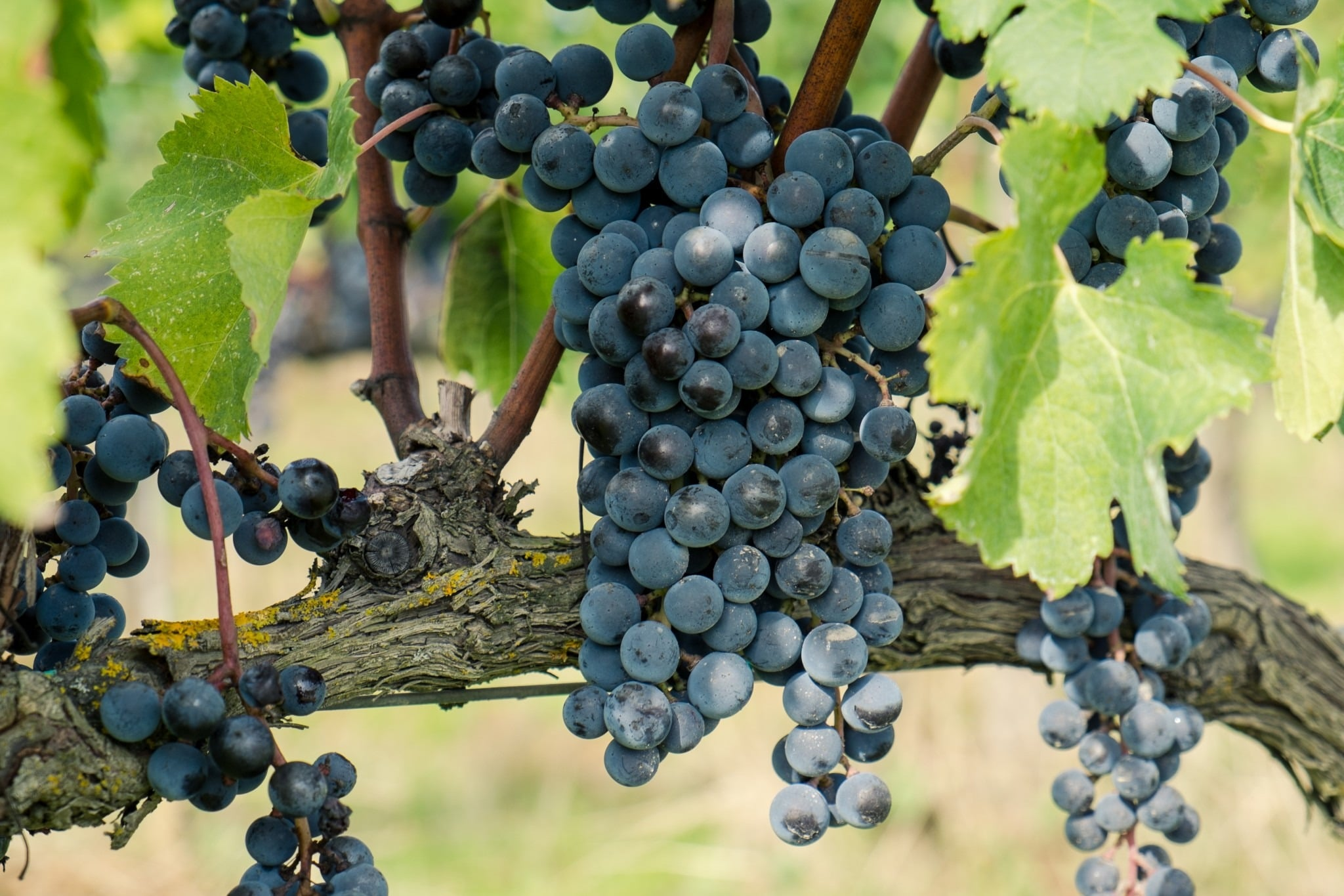 Shows a bunch of black grapes hanging of the vines