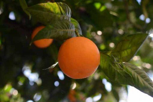 Deliciously looking Sicilian orange