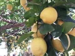 Fresh lemons from Amalfi.