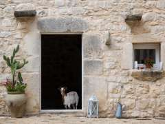 Sicily Guest Photo Goat in Doorway